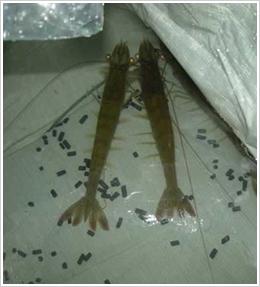 美国科那湾进口亲虾
